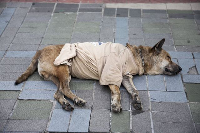 Thailand,_Samut_Prakan_Prov,_Dog_In_T-_Shirt,_2008,_IMG_1188